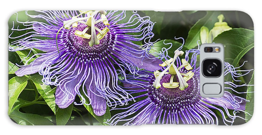 Nature Galaxy S8 Case featuring the photograph Passion Flowers by Kenneth Albin