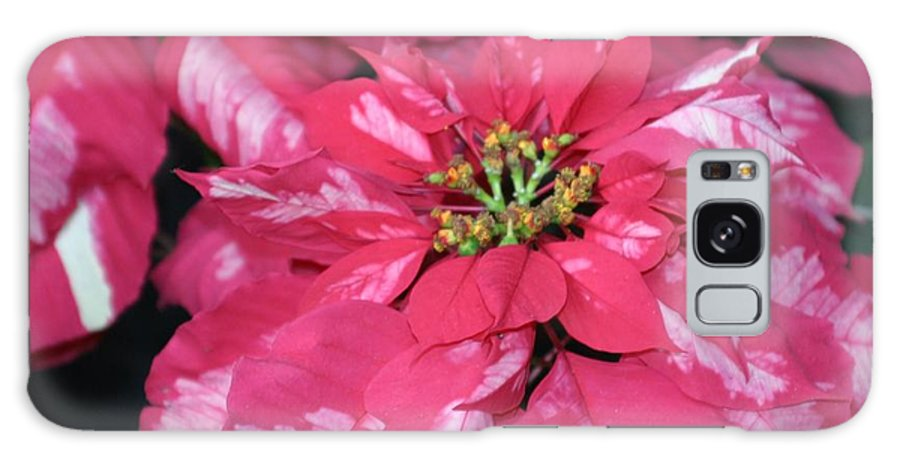 Poinsettia Galaxy S8 Case featuring the photograph Poinsettia Passion by Living Color Photography Lorraine Lynch