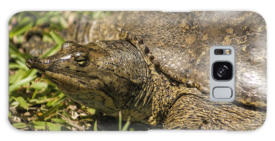 Turtle Galaxy S8 Case featuring the photograph Pointed Nose Florida Softshell Turtle - Apalone Ferox by Kathy Clark