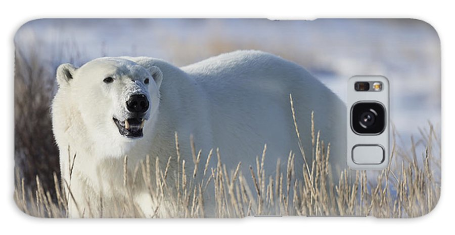 Snow Galaxy S8 Case featuring the photograph Polar Bear In The Sunshinechurchill by Robert Postma