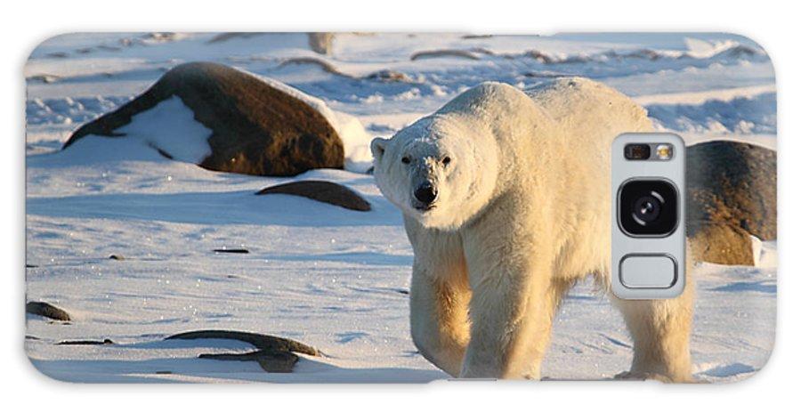 Polar Bear Galaxy S8 Case featuring the photograph Polar Bear On The Tundra by Carole-Anne Fooks