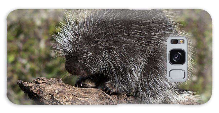 Porcupine Galaxy S8 Case featuring the photograph Porcupine Looking For Food by Paul Cannon