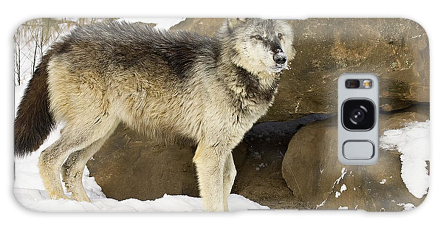 Wolf Galaxy S8 Case featuring the photograph Power by Jack Milchanowski