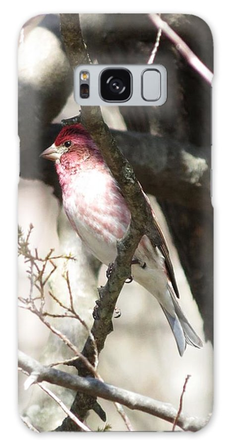 Purple Finch Galaxy S8 Case featuring the photograph Purple Finch by Rebecca Overton