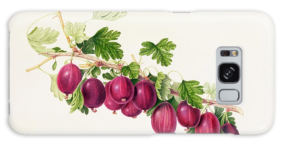 Gooseberries; Fruit; Branch; Leaves; Botanical Illustration Galaxy S8 Case featuring the painting Purple Gooseberry by William Hooker