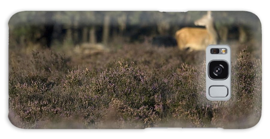 Red Deer Galaxy S8 Case featuring the photograph Purple Heather In The Background A Female Deer Netherlands by Ronald Jansen