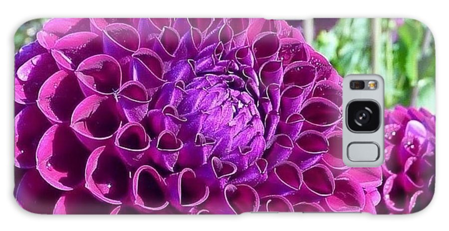 Dahlia Festival Galaxy S8 Case featuring the photograph Purple Perfection Dahlia Flower by Susan Garren
