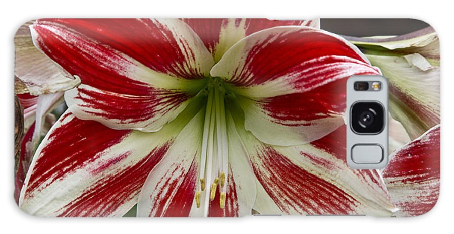Flowers Galaxy S8 Case featuring the photograph Red And White by Kathy McClure