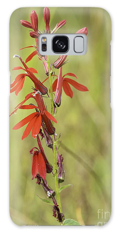 Obelia Cardinalis Galaxy S8 Case featuring the photograph Red Cardinal Flower by Les Palenik