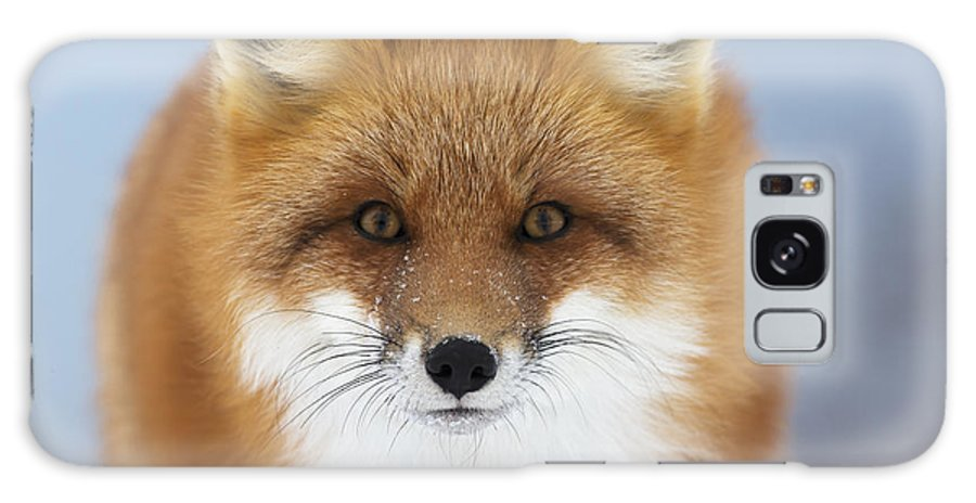Canada Galaxy S8 Case featuring the photograph Red Fox Staring At The Camerachurchill by Robert Postma