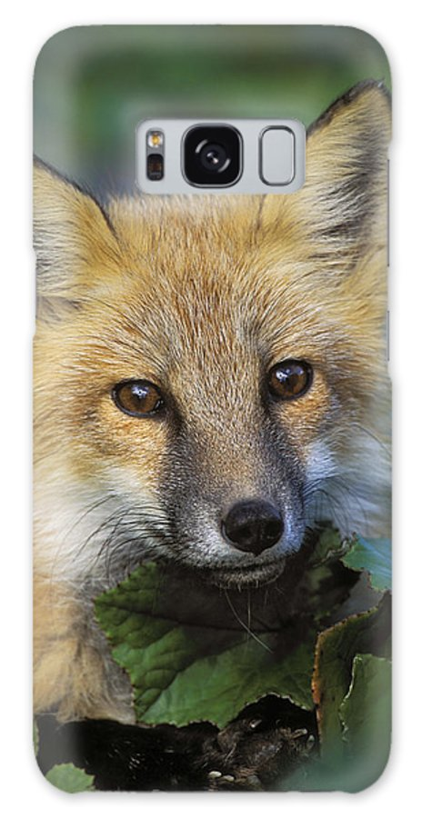 Light Galaxy S8 Case featuring the photograph Red Fox Vulpes Vulpes, Gros Morne by Thomas Kitchin & Victoria Hurst