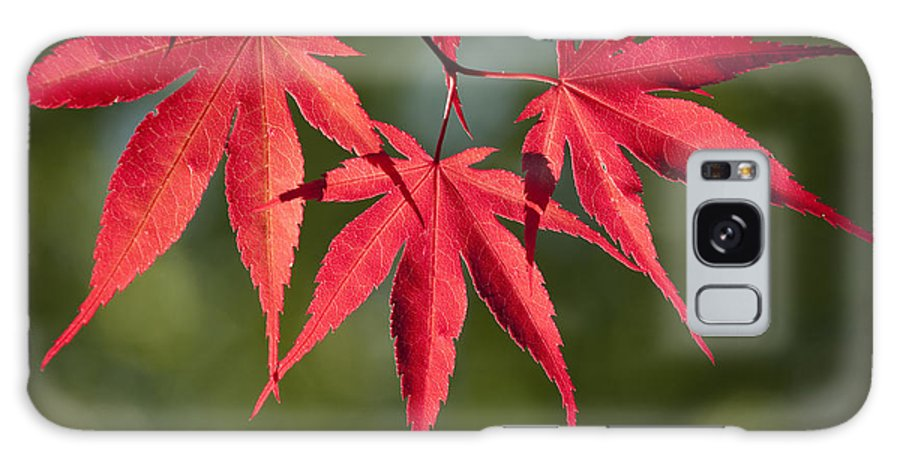 Plant Galaxy S8 Case featuring the photograph Red Japanese Maple Leafs by Chad Davis