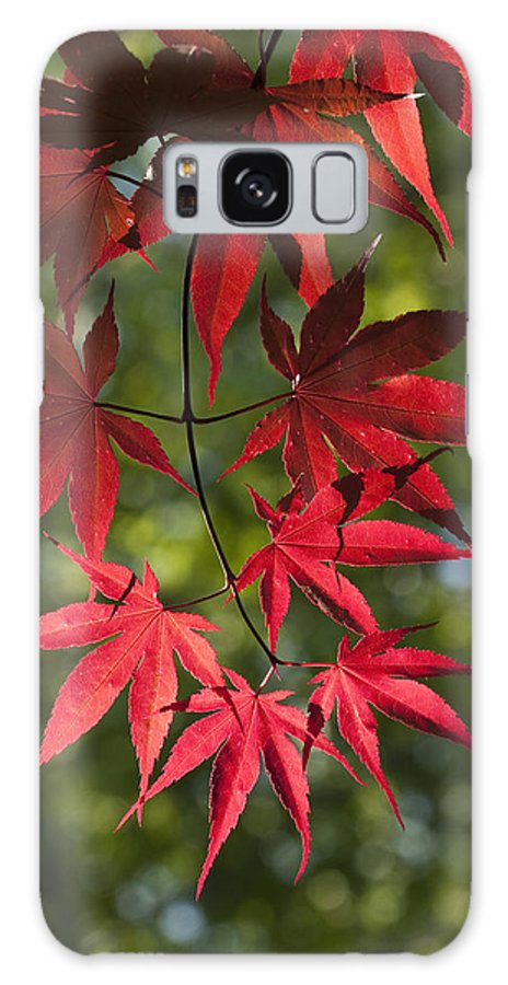 Japanese Red Maple Galaxy S8 Case featuring the photograph Red Leafs Of The Maple by Chad Davis