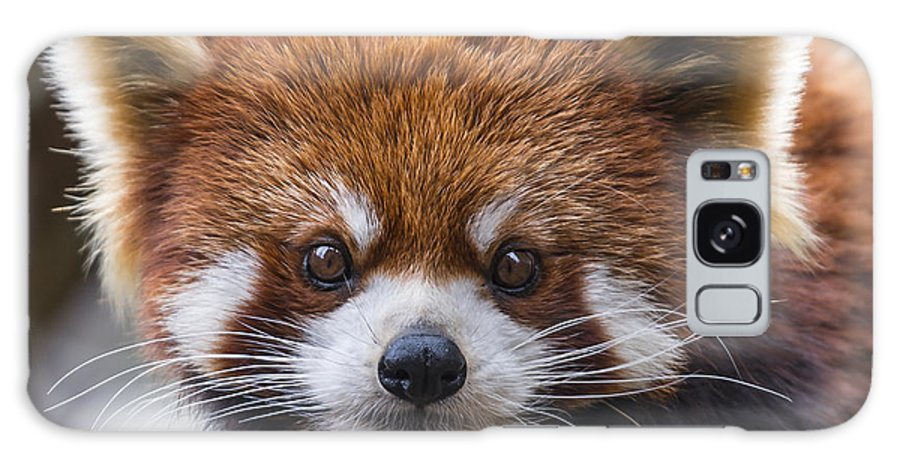 Red Panda Galaxy S8 Case featuring the photograph Red Panda by Phil Abrams