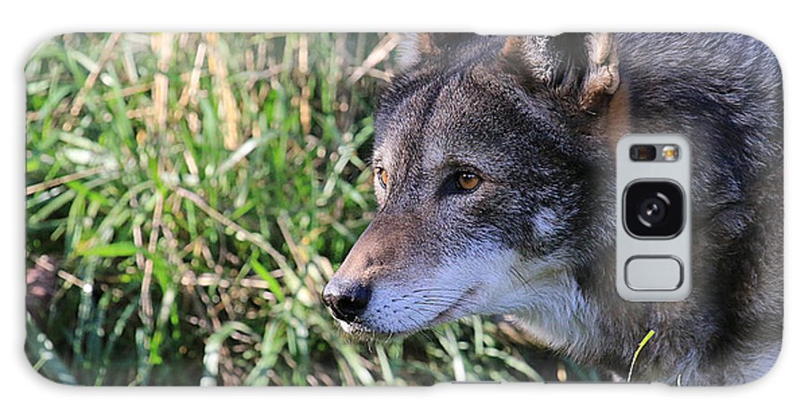 Canis Lupus Galaxy S8 Case featuring the photograph Red Wolf On The Hunt by Steve McKinzie