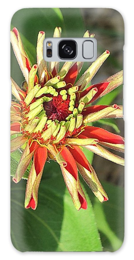 Zinnia Galaxy S8 Case featuring the photograph Red Zinnia- Early Bloom by Doug Morgan