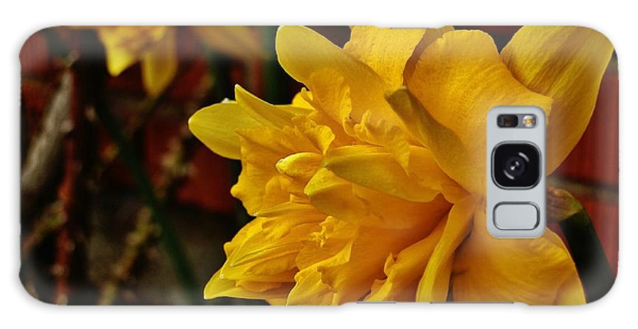 Flower Galaxy S8 Case featuring the photograph Renaissance Daffodil by VLee Watson