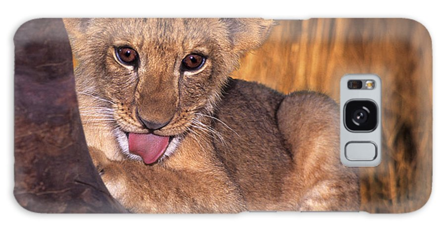 African Lion Galaxy S8 Case featuring the photograph Shy African Lion Cub Wildlife Rescue by Dave Welling