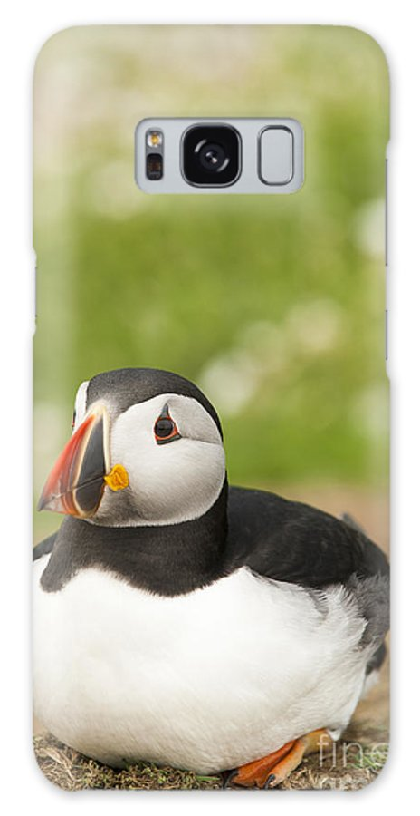 Arctica Galaxy S8 Case featuring the photograph Sitting Puffin by Anne Gilbert