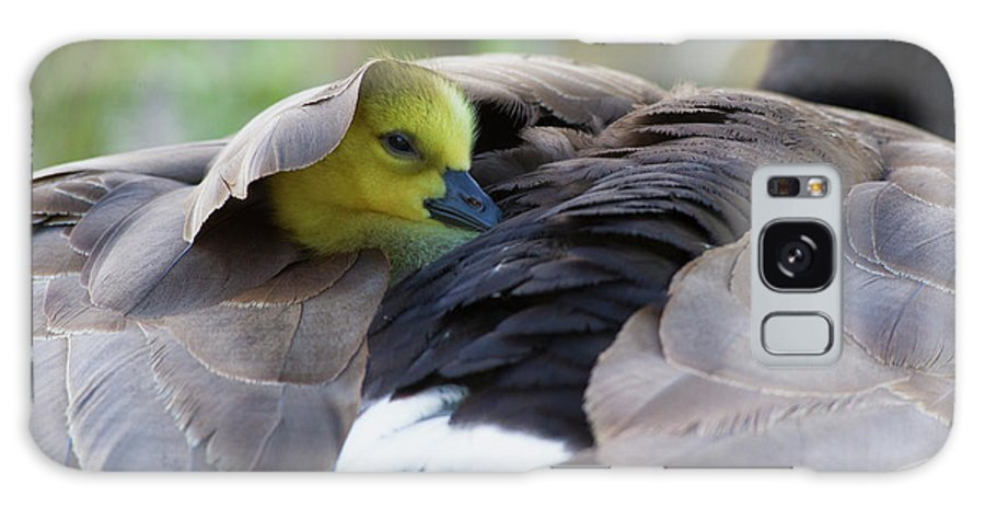 Baby Galaxy S8 Case featuring the photograph Snuggling Gosling by Ken Archer
