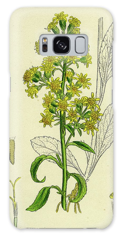 19th Century Galaxy S8 Case featuring the drawing Solidago Virga-aurea Var. Genuina Common Golden-rod Var by English School