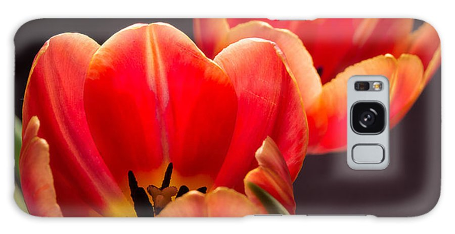 Orange Tulips Flowers Close-up Black Background Pentax Dave Spence Galaxy S8 Case featuring the photograph Spring Tulips by Dave Spence