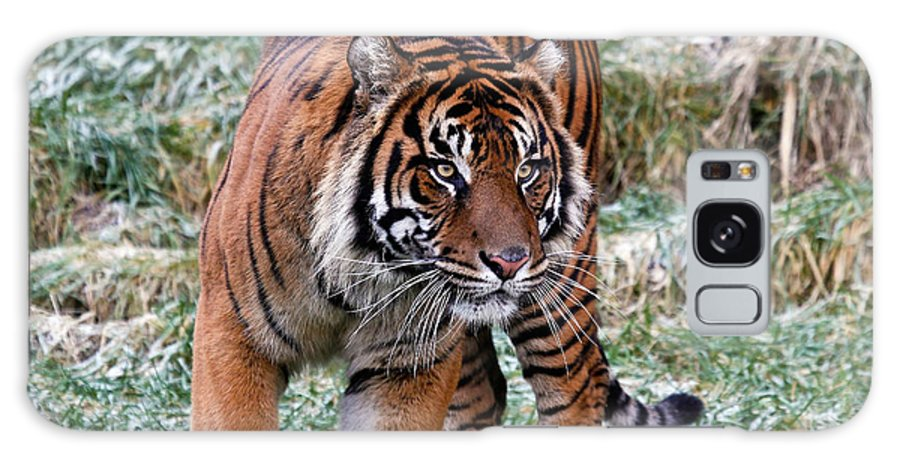 Tiger Galaxy S8 Case featuring the photograph Sumatran Tiger On The Prowl by Athena Mckinzie
