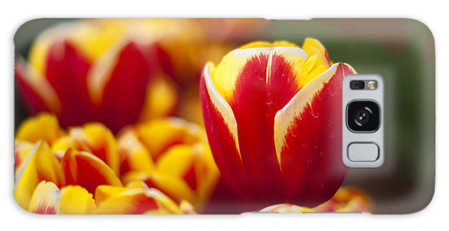Tulips Galaxy S8 Case featuring the photograph The Single Big Tulip by Ewan Arnolda