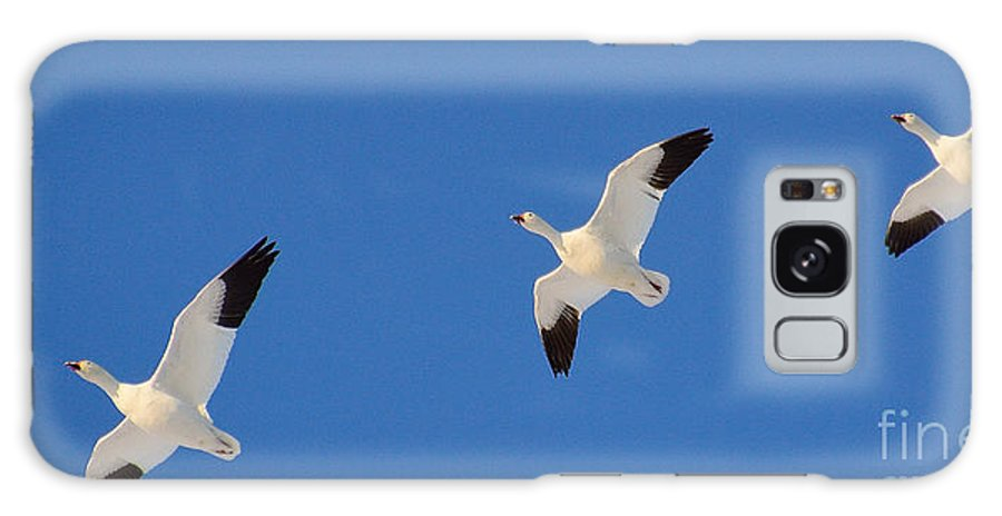 Nature Galaxy S8 Case featuring the photograph Three Snow Geese by Tarea Roach-Pritchett