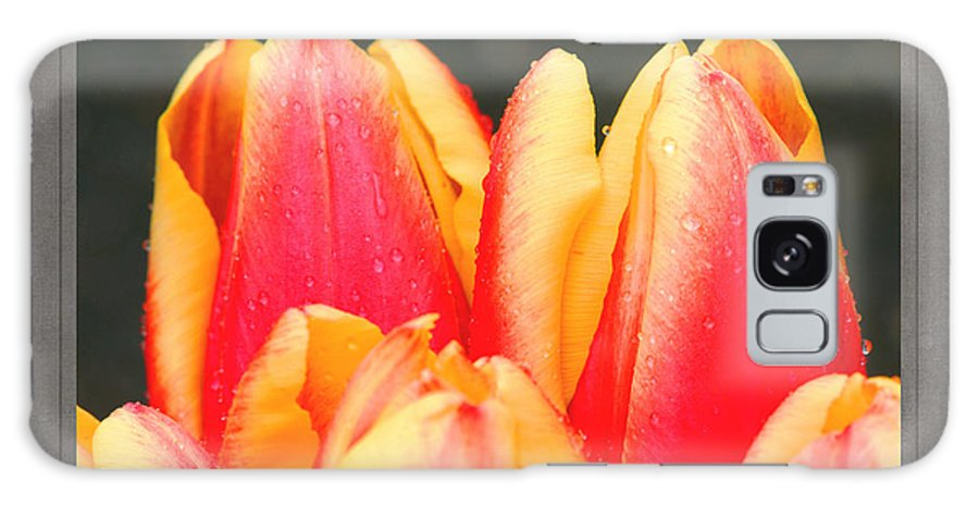 Red And Yellow Tulips With Water Droplets Against A Black Background In A Recessed Frame. Galaxy S8 Case featuring the photograph Tulips by David Birchall