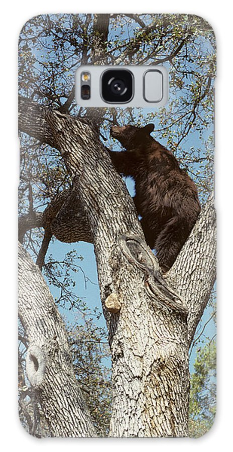 Acorn Galaxy Case featuring the photograph Usa, California, Black Bear In Oak by Gerry Reynolds