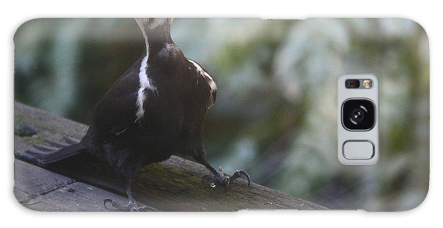 Pileated Woodpecker Galaxy S8 Case featuring the photograph Walk This Way Woody by Kym Backland