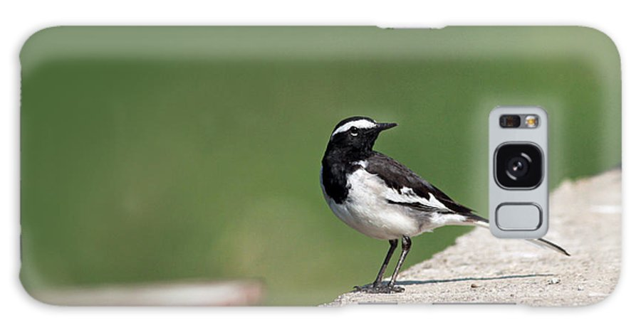White Browed Wagtail Galaxy S8 Case featuring the photograph White Browed Wagtail by Milind Waichal
