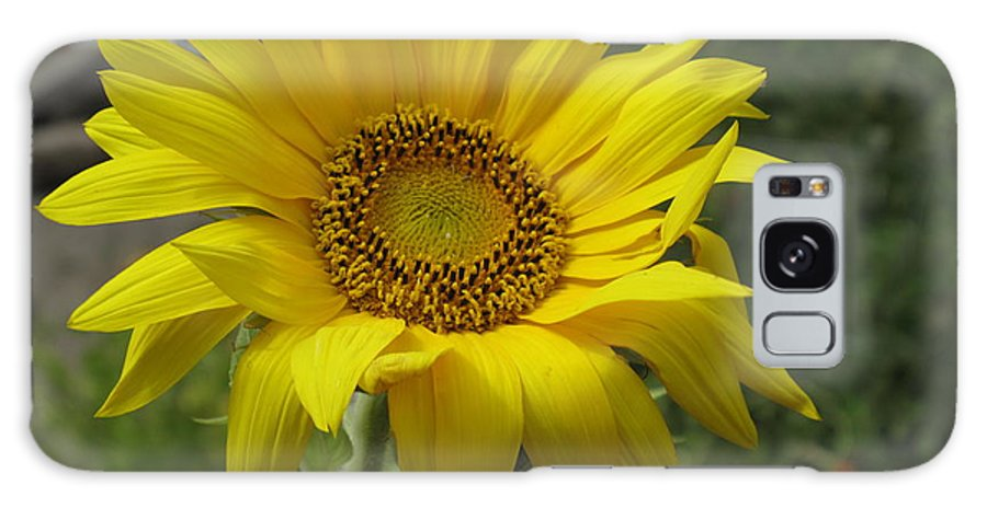 Sunflower Galaxy S8 Case featuring the photograph Windblown Sunflower Two by Barbara McDevitt