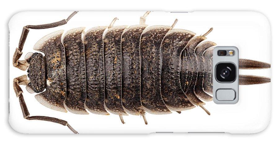 Antenna; Armor; Armored; Arthropod; Black; Brown; Bug; Centipede; Close-up; Closeup; Creepy; Crustacean; Exoskeleton; Eyes; Insect; Invertebrate; Isolated; Macro; Pest; Porcellio; Wagnerii; Shell; Small; White; Wild; Wildlife; Woodlouse; Malacostraca; Isopoda; Oniscidea; Porcellionidae Galaxy S8 Case featuring the photograph Woodlouse Species Porcellio Wagnerii by Pablo Romero