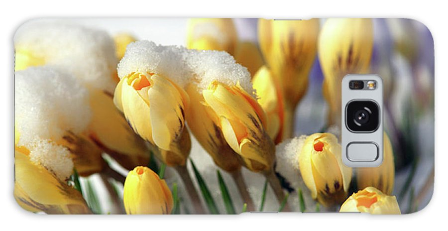 Yellow Crocuses Galaxy S8 Case featuring the photograph Yellow Crocuses In The Snow by Sharon Talson