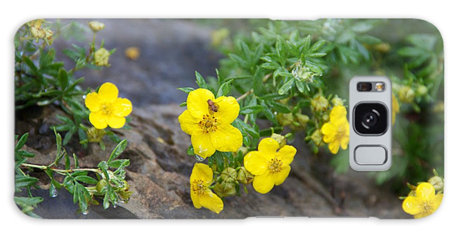 Yellow Flowering Bush Galaxy S8 Case featuring the photograph Yellow Potentilla Shrub by June Hatleberg Photography