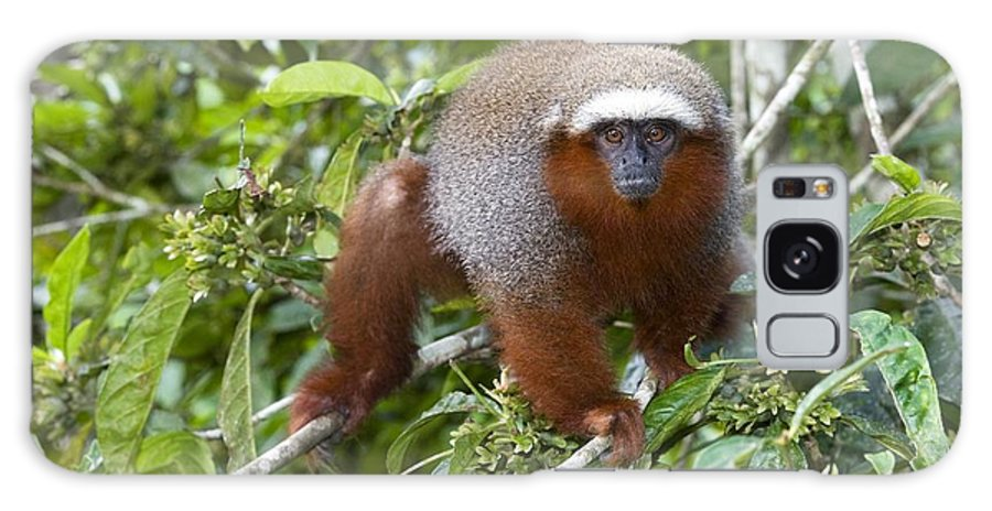 Callicebus Cupreus Discolor Galaxy S8 Case featuring the photograph Red Titi Monkey by Tony Camacho