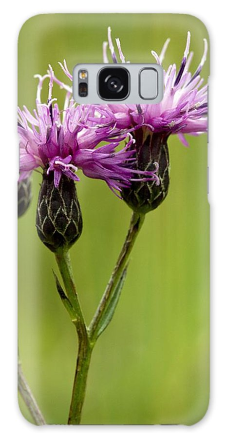 Saw-wort Galaxy S8 Case featuring the photograph Saw-wort (serratula Tinctoria) by Bob Gibbons