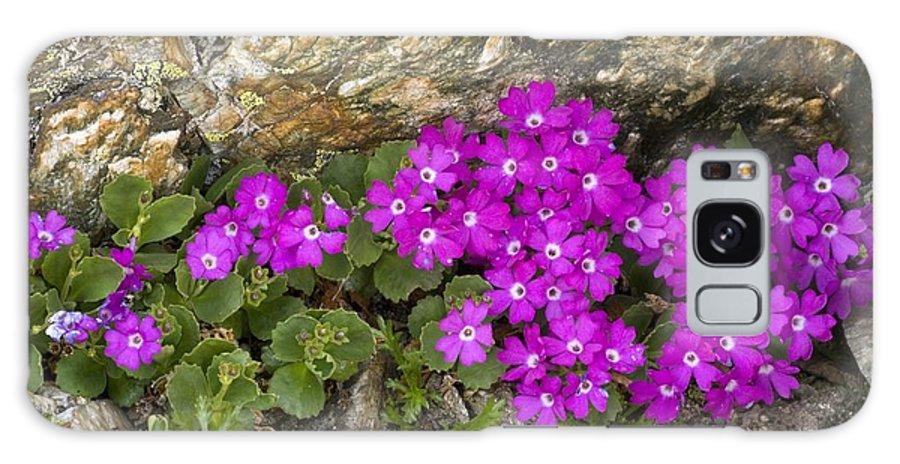 Alpine Primula Galaxy S8 Case featuring the photograph Alpine Primula (primula Hirsuta) by Bob Gibbons