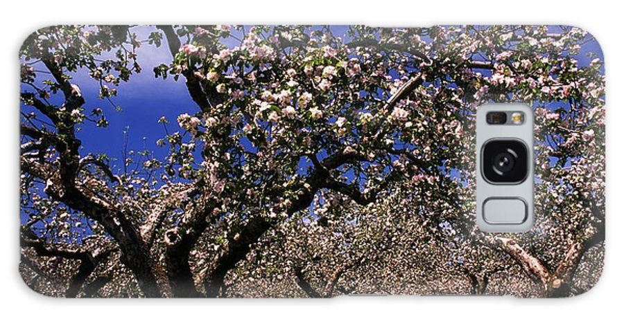 Apple Orchard Galaxy S8 Case featuring the photograph Apple Trees In An Orchard, County by The Irish Image Collection