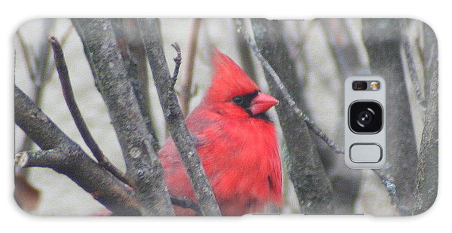 Northern Cardinal Galaxy S8 Case featuring the photograph Cardinal With Fluffed Feathers by Laurel Talabere