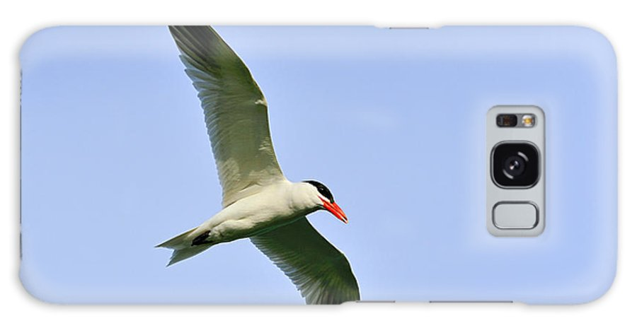 Caspian Tern Galaxy S8 Case featuring the photograph Caspian Tern by Tony Beck