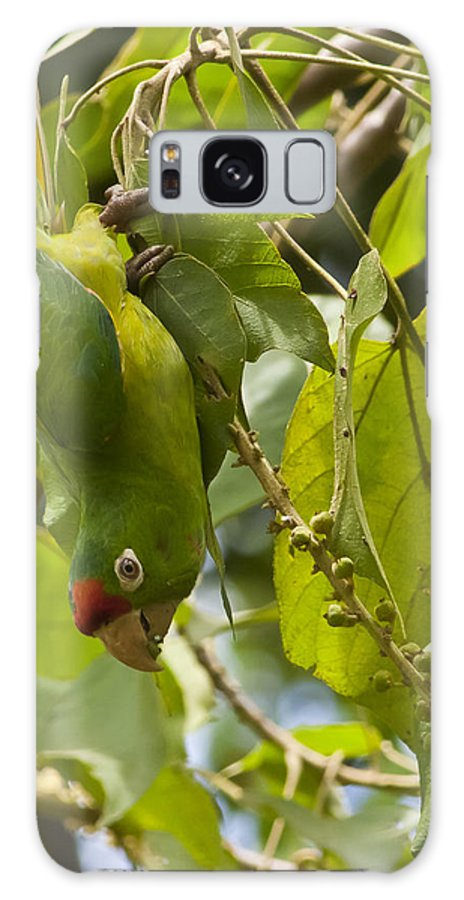 Crimson Galaxy S8 Case featuring the photograph Crimson Fronted Parakeet Upside Down by Craig Lapsley