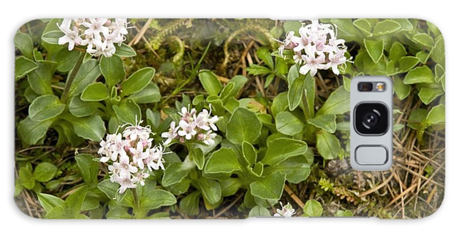 Dwarf Valerian Galaxy S8 Case featuring the photograph Dwarf Valerian (valeriana Supina) by Bob Gibbons