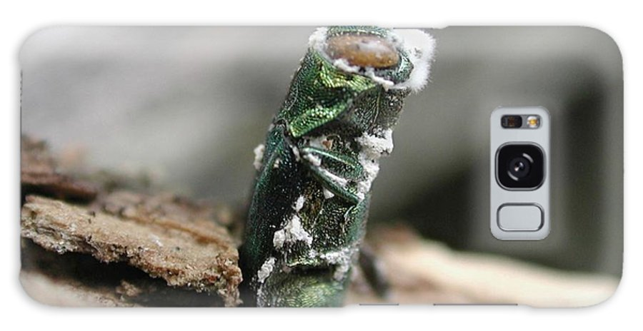 Beauveria Bassiana Galaxy S8 Case featuring the photograph Emerging Ash Borer With Fungus by Science Source