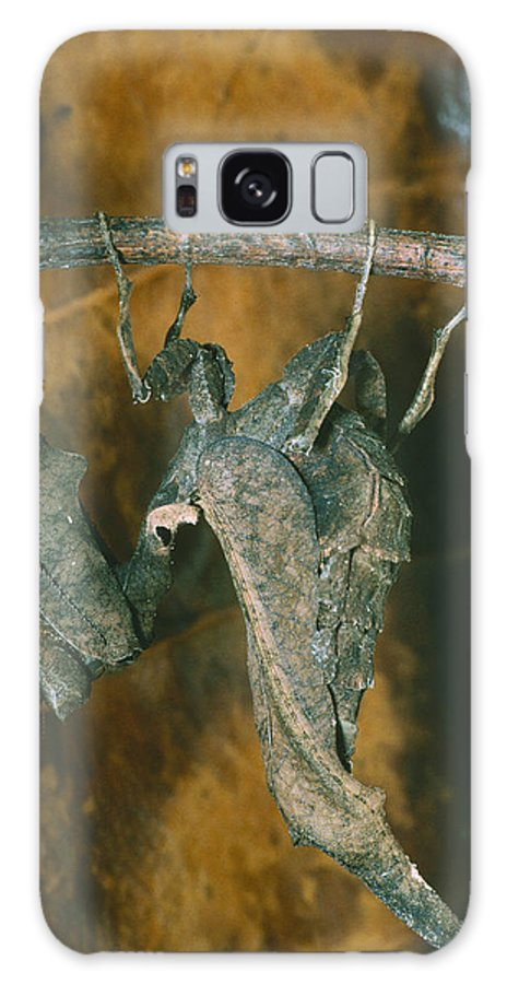 Dead-leaf Mantis Galaxy S8 Case featuring the photograph Female Dead-leaf Mantis by Dr George Beccaloni