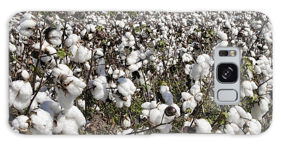Cotton Galaxy S8 Case featuring the photograph Fluffy White Cotton Bolls by Kathy Clark