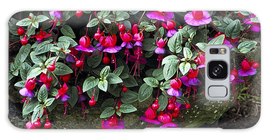 'swanley Gem' Galaxy S8 Case featuring the photograph Fuchsia 'swanley Gem' by Archie Young