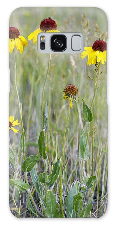 Common Blanketflower Galaxy S8 Case featuring the photograph Gaillardia Aristata by Bob Gibbons